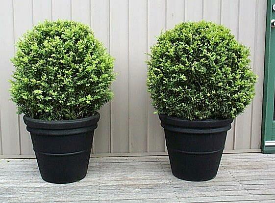 F nix plantas e jardins buxus planta de sol pleno pra aguentar no ver o - Planta de exterior resistente ...