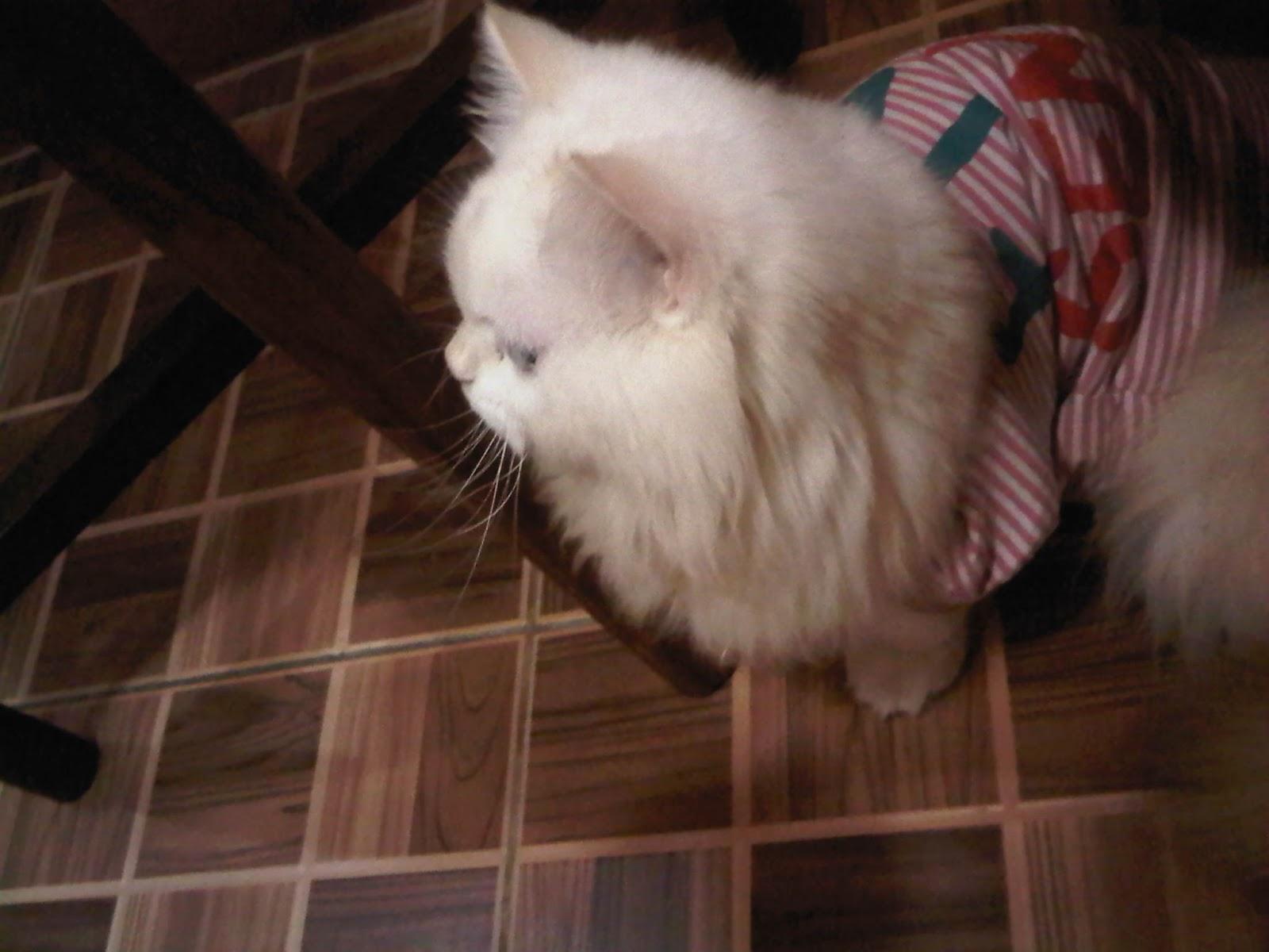 Cara Merawat Kucing Persia November 2012