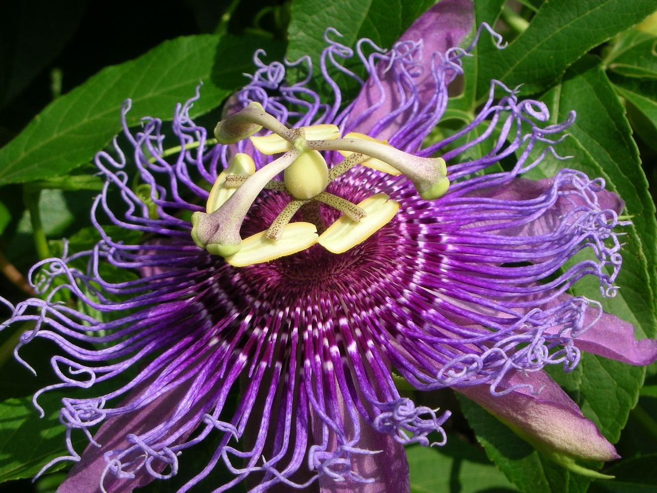Magično cveće! Passion+Flower+1