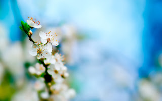 Spring White Apple Flowers Season Nature Life HD Wallpaper