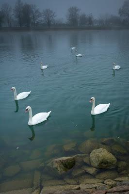 Misty Swans, Breisach, Germany