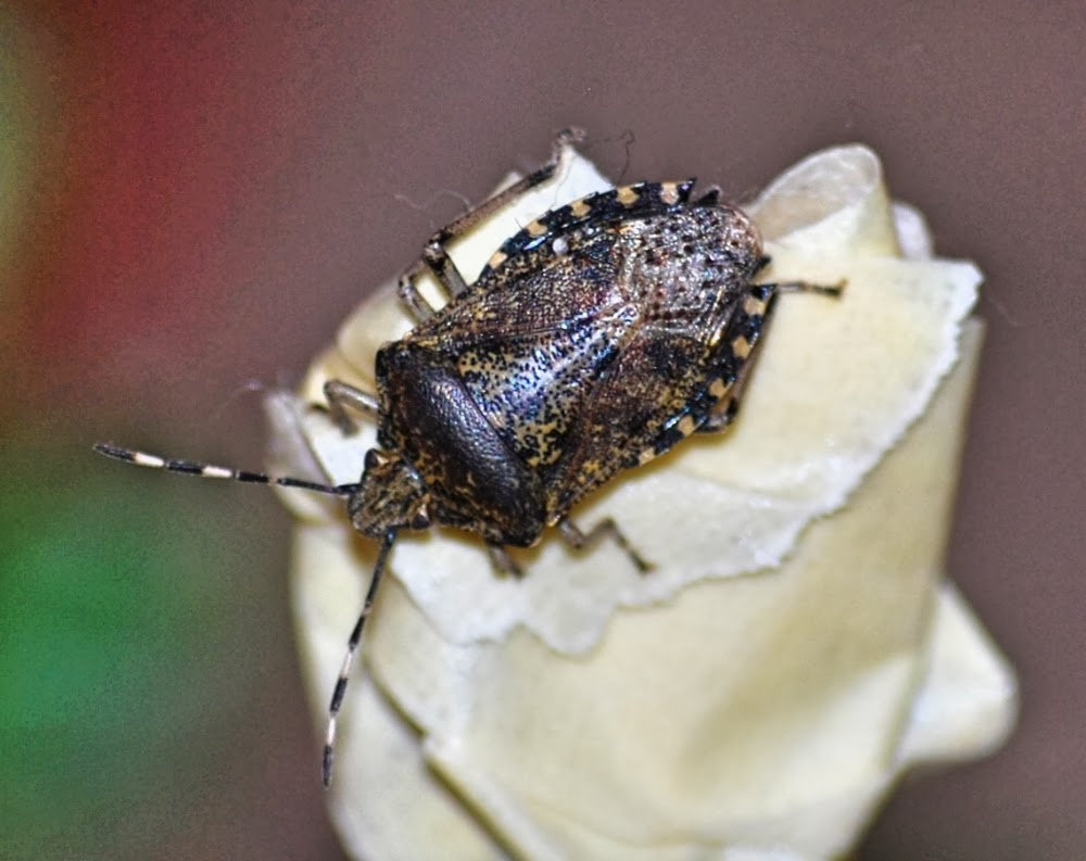 Punaise nebuleuse - Mottled sheildbug in France