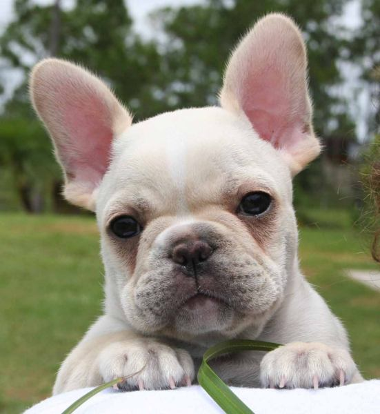 Cute french bulldog wallpaper - photo#5