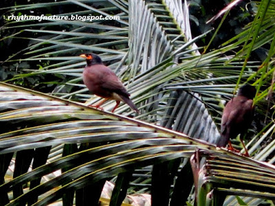Common Myna or Indian Myna ( Scientific name : Acridotheres tristis )