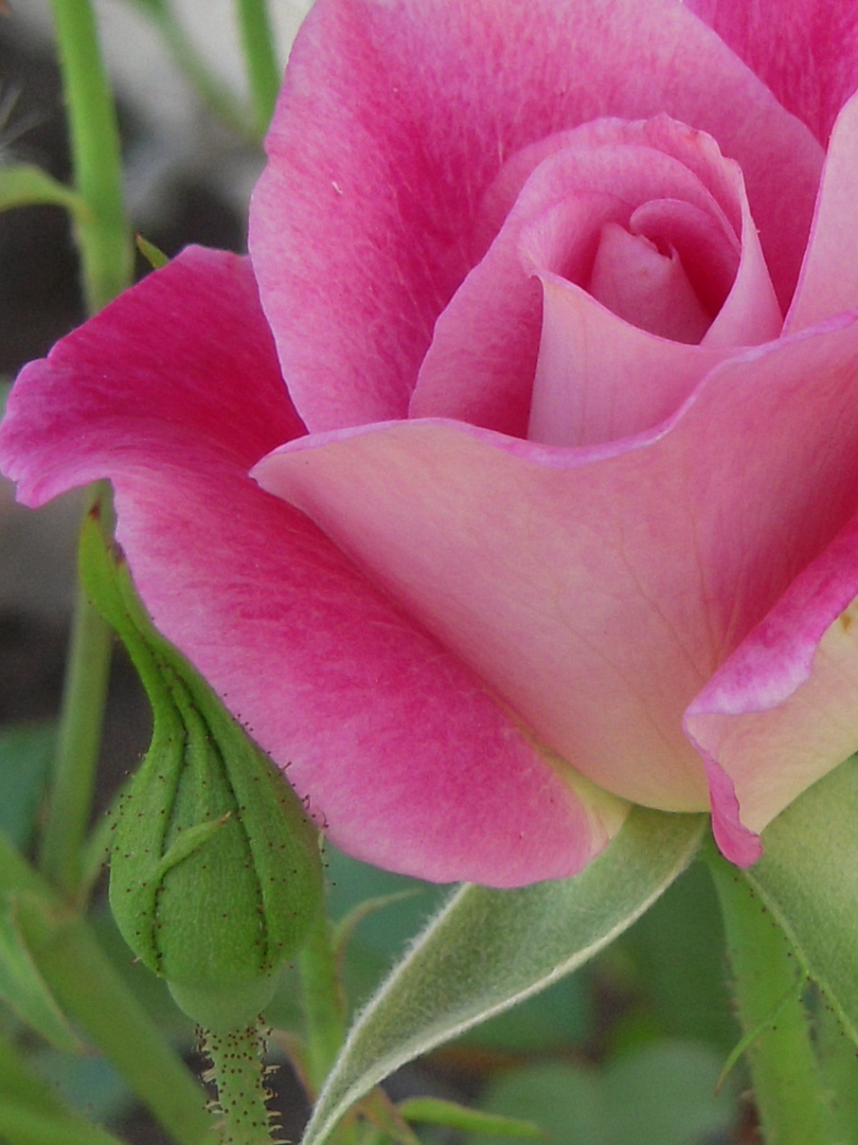 Brilliant Pink Iceberg Floribunda Rose Brilliant Pink Iceberg Rose