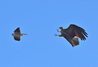 Falcon is folowing Pigeon