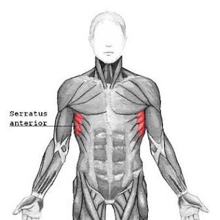 serratus anterior for ripped physique