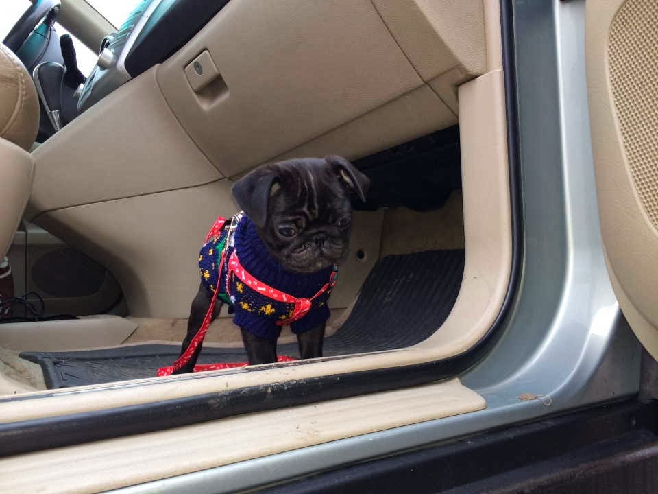 Cute dogs - part 4 (50 pics), dog pictures, little pug puppy in car