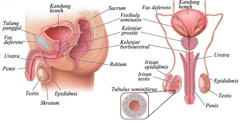 testosterone hormon
