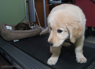 The cat is curled up in a light brown bed at the far end of the treadmill. The golden puppy is facing the camera at the other end, looking down and to his right.