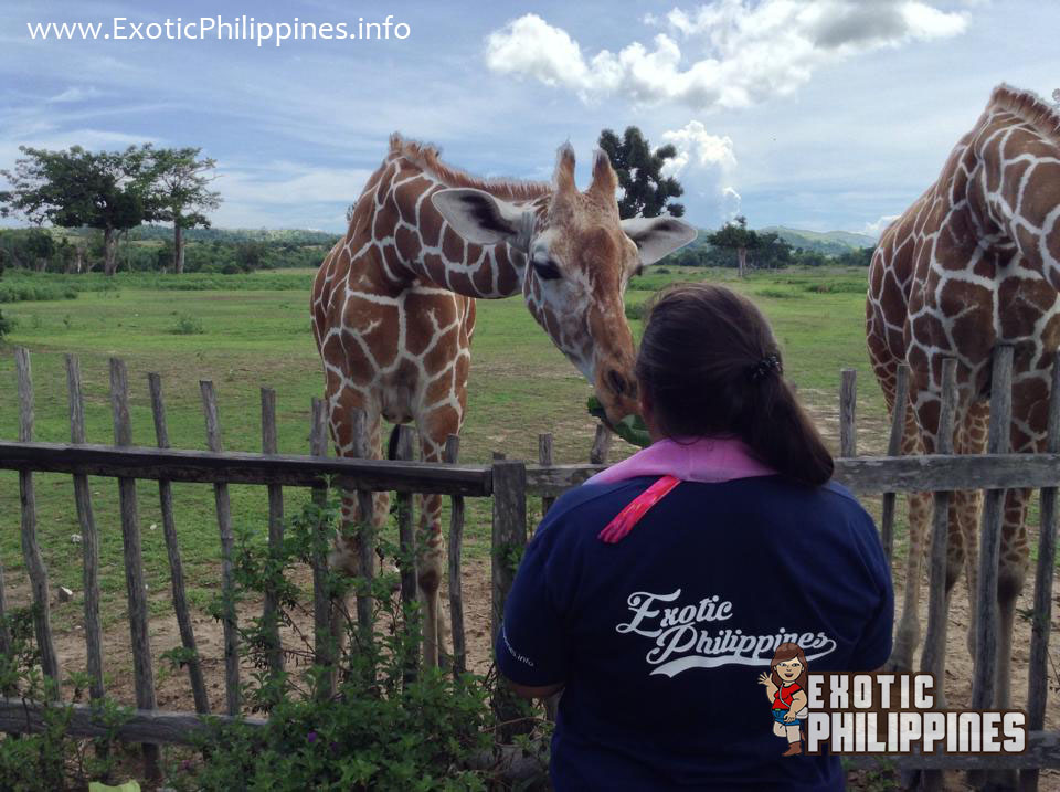 A Giraffe Meet and Kiss at the Calauit Wildlife Sanctuary of Coron Palawan Exotic Philippines Travel Blog