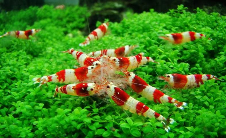 Amano Shrimp Related Keywords & Suggestions - Amano Shrimp Long Tail ...