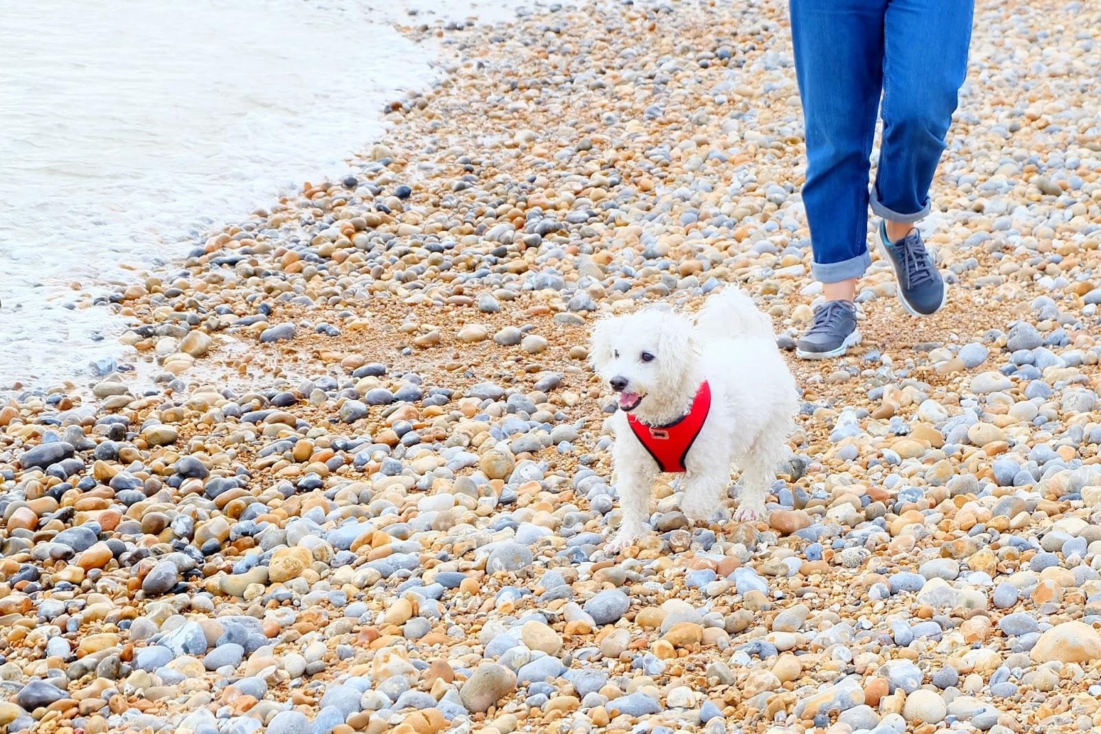 bichon frise beach