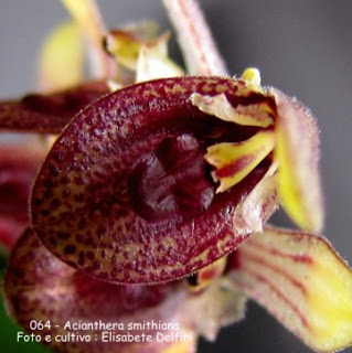 Acianthera smithiana variedade 1 do blogdabeteorquideas