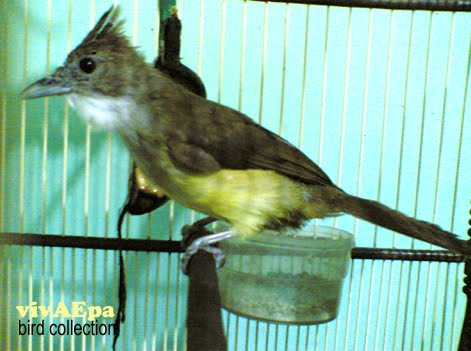 Galery Burung: CUCAK JENGGOT