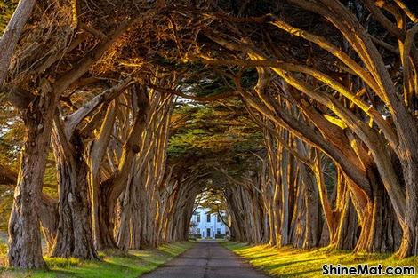 Cypress Tree Avenue, Point Reyes, California, USA