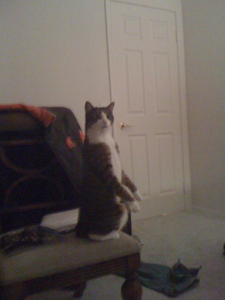 funny cat pictures, standing cat