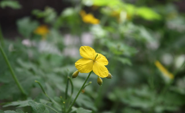 Greater Celandine Flowers