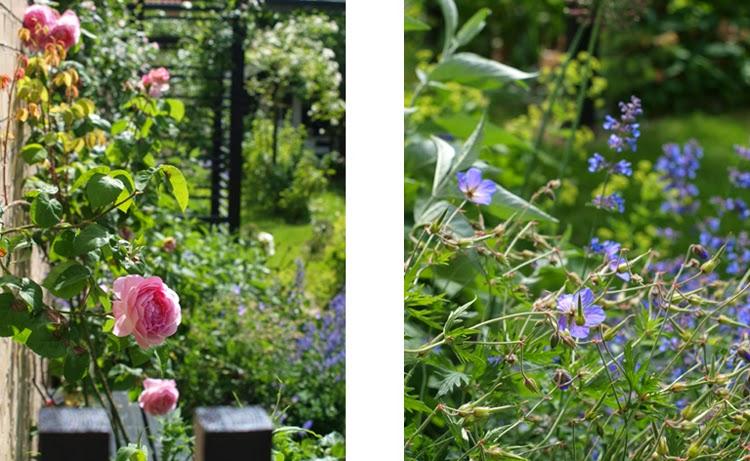 Lyserød rose som romantisk kontrast til stramt haverum med sort pergola