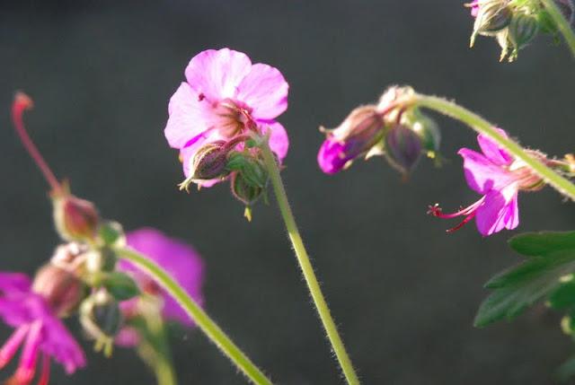 Close up of Geranium macrorrhizum 'Bevan's Variety' with sunshine in petals