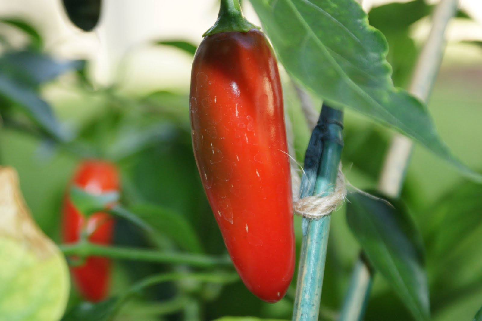 Here's a picture of a serrano pepper growing in my backyard.