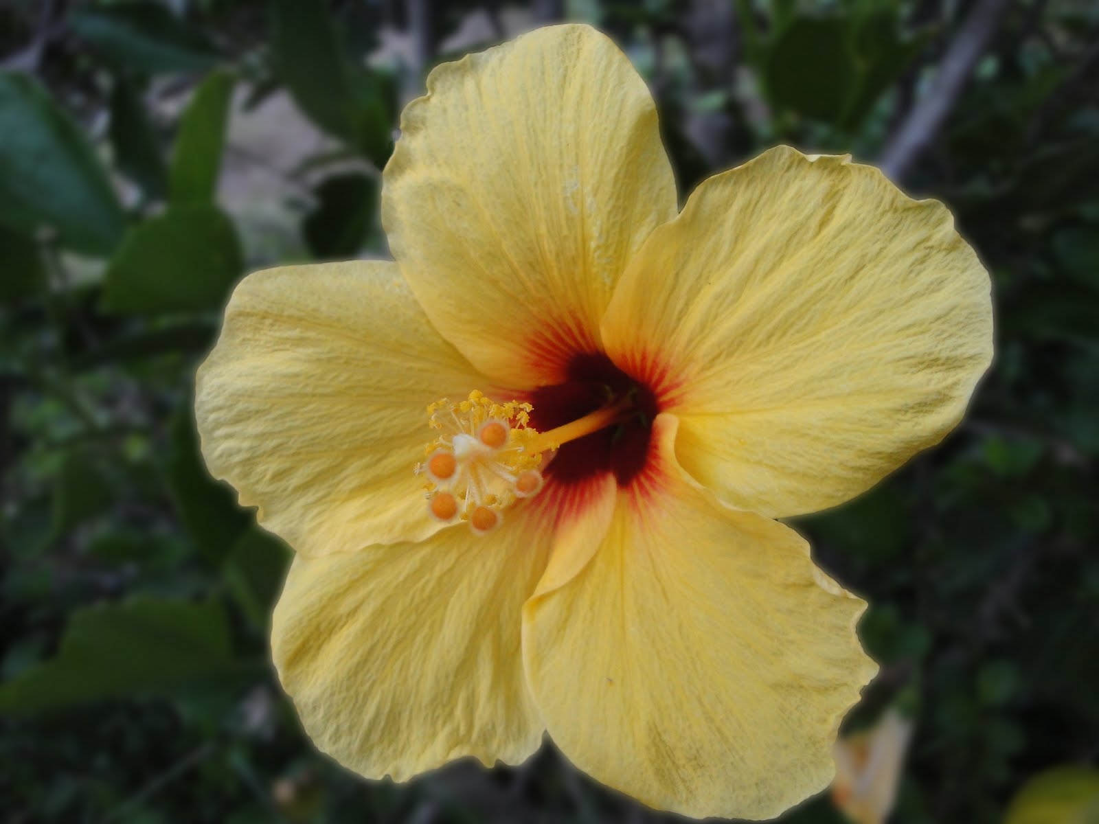 Hawaii State Flower Picture Beautiful Flowers