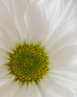 center of a daisy