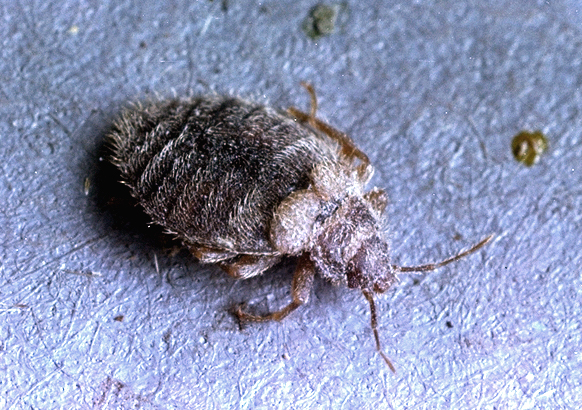 Gray Bug On Bed : Are there different types of bed bugs facts about