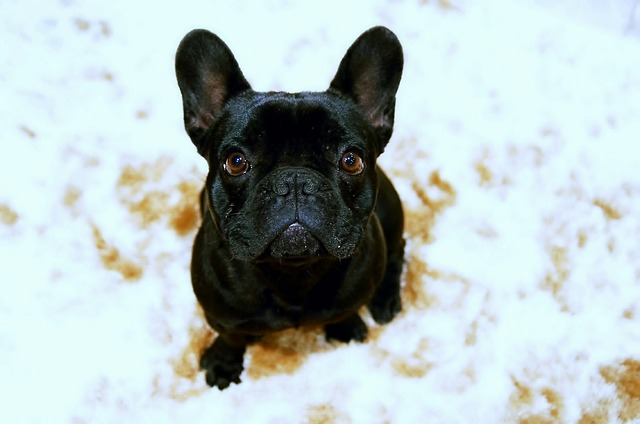 Interesting Facts on French Bulldogs: