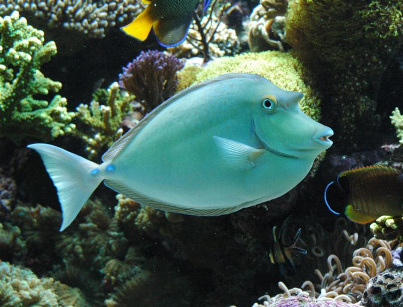 Unicorn Fish Fishes