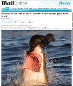 Foca escapa por pouco de ataque de tubarão branco na África do Sul