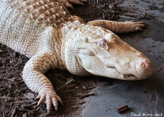 albino alligator, white, eye