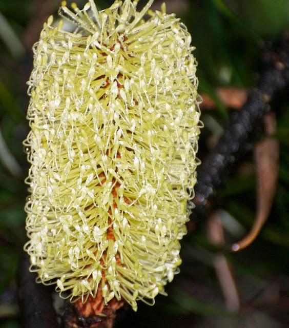 Silver Banksia (Banksia marginata)