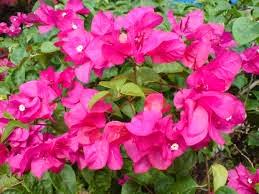 nama latin bunga kertas