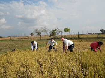 Harvesting rice in the dry season