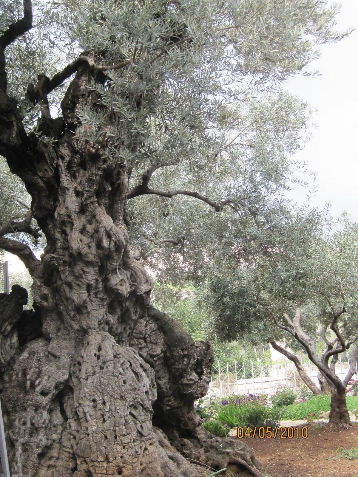 Darce and nancy israel 2011 tuesday april 5 garden of for Age olive trees garden gethsemane