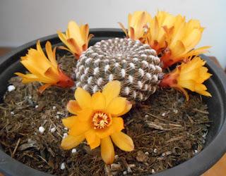flores de la rebutia arenacea