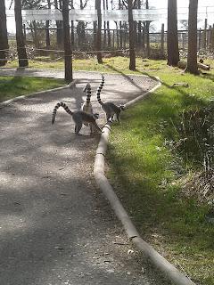 bye lemur