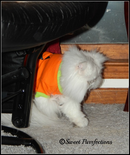 Brulee was embarrassed when Mom Paula put the jack-o-lantern outfit on her.