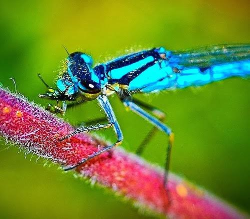"""اليعاسيب """"آباء المغزل"""": هي من بين أسرع الحشراتِ المعروفة ويبلغ سرعتها 100 كيلومترِ بالسّاعة. كُلّ أربعة مِنْ أجنحتِهم يُمْكِنُ أَنْ تَتحرّكَ بشكل شبه مستقل، يَسْمحُ لهم مستويات خفةِ الحركة والغير معروفة لغيرهم من الحشراتِ الأخرى"""