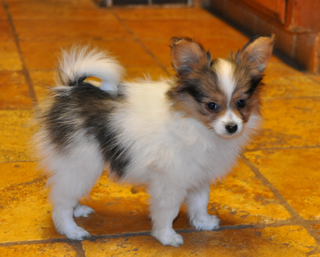 Roads End Papillons 10 Week Old Papillon Puppy