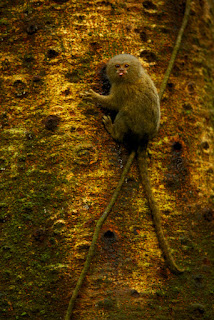Green Pear Diaries, fotografía, vida salvaje, wildlife, fotoreportaje, photojournalism, Tim Laman