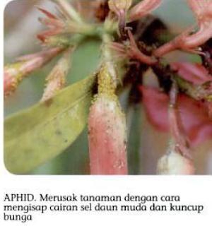 Tukang taman Surabaya 7 jenis hama dan pengendalian Pada tanaman Adenium