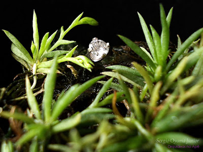 Micro-orquídea Phymatidium delicatulum