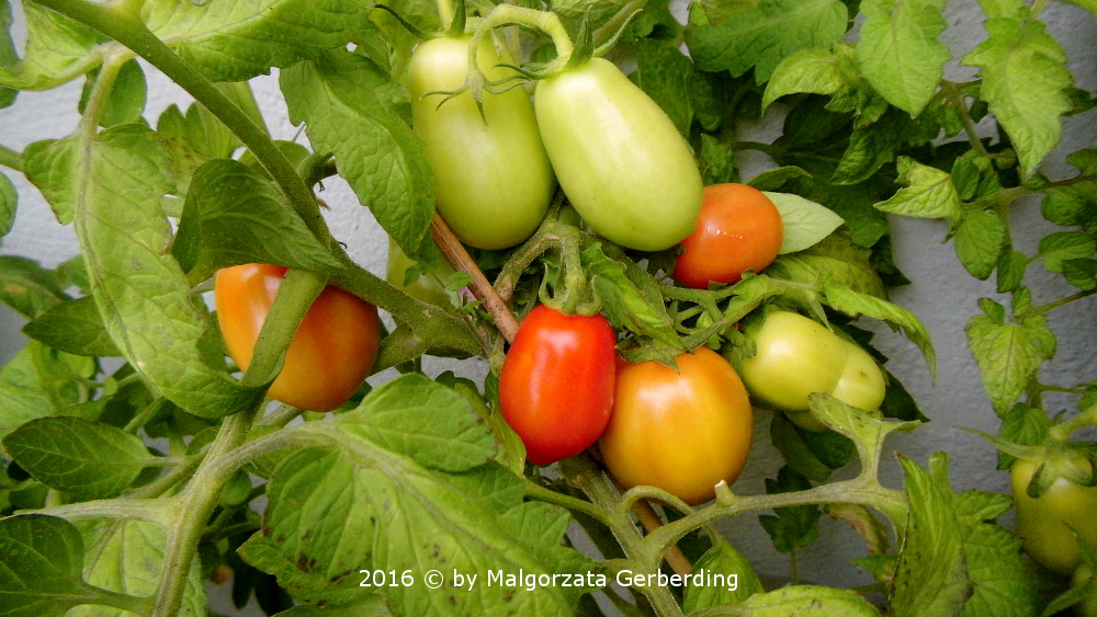 Perzevidnij polosatij rot-gelb gestreifte paprikaförmige Tomate aus Russland