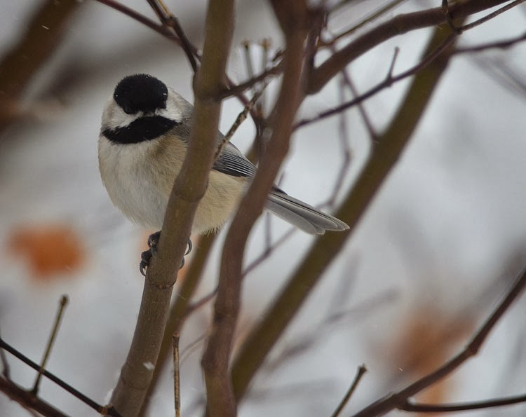 A head-on photo of a Carolina Chickadee (Poecile carolinesis) in the snow. The cold doesn't seem to bother this tough little winter bird!