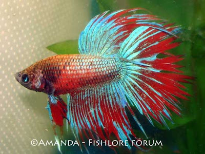 Fancy decorative fishes download photos for List of fish that can live with bettas