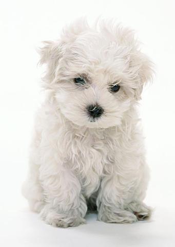 Anjing shi + zu