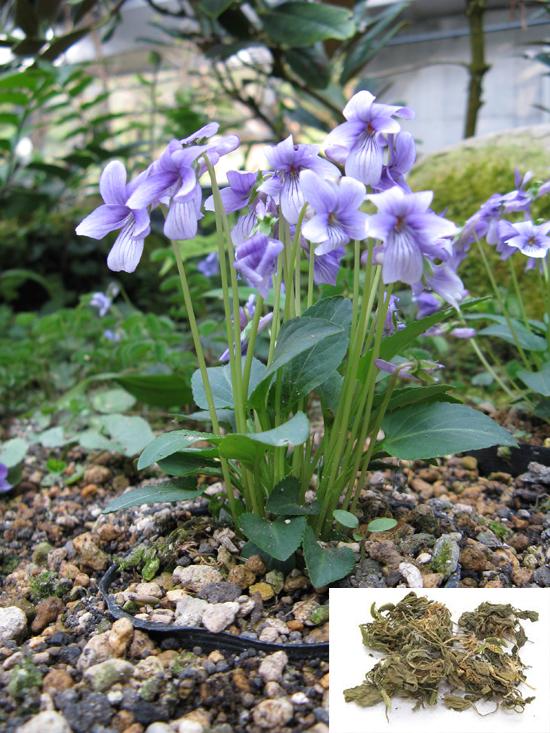 Viola prionantha Bge. (Fam. Violaceae)