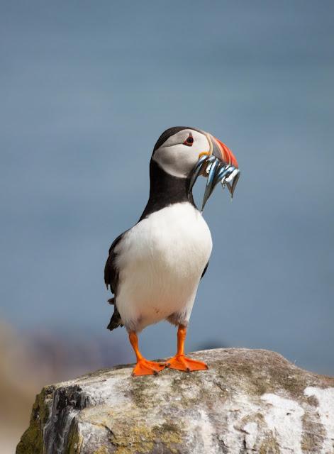 Puffin - Farne Islands, Northumberland